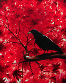 Raven in Red Tree